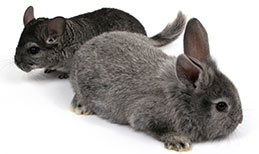 Rabbit and chinchilla