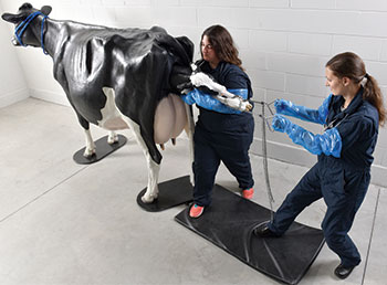 Students practicing with life-size Holstein dystocia simulator