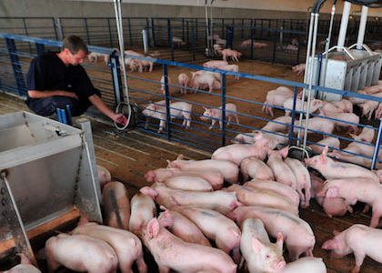 swine producing