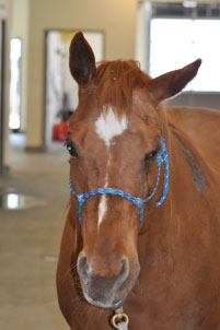 Horse with facial nerve paralysis (left side)