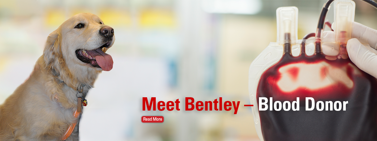 Bentley the dog - blood donor